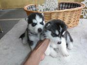 Two Beautiful Siberian Husky Puppies For Re-homing