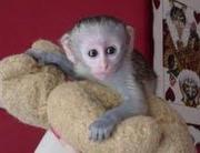 adorable baby capuchin monkeys for good homes