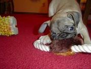 Cute female Pug puppy looking for a good home